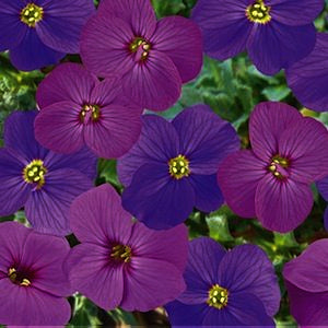 Aubretia Audrey Red and Purple