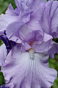 "Iris Barbata Alta ""Mary Frances"" in vaso"