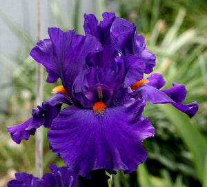 "Iris Barbata Alta ""Paul Black"" in vaso"