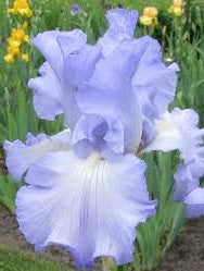 "Iris Barbata Alta ""Sky Search"""