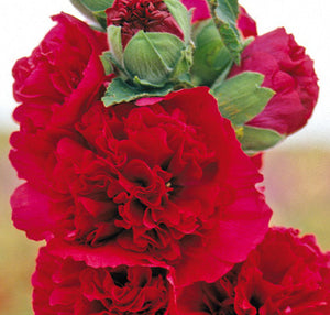 "Alcea Rosea Plena ""Chaters Red"""