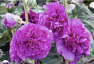 "Alcea Rosea Plena ""Chaters Violet"""