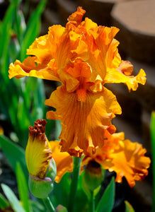 "Iris Barbata Alta ""Golden Panther"""