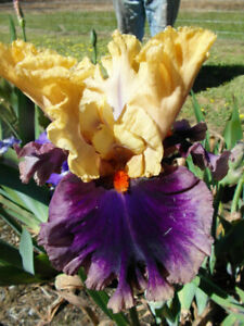 "Iris Barbata Alta ""Hollywood Lights"""