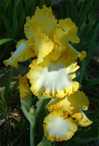 "Iris Barbata Alta ""Joyce Terry"" in vaso"