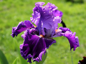 "Iris Barbata Alta ""Louisa's Song"" in vaso"