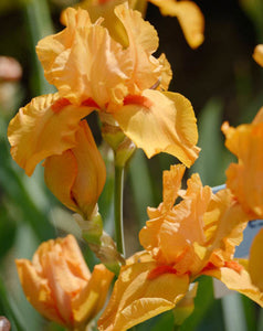 "Iris Barbata Nana ""Maid of Orange"""