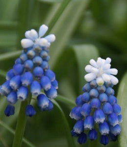 "Muscari Aucheri ""Mount Hood"""