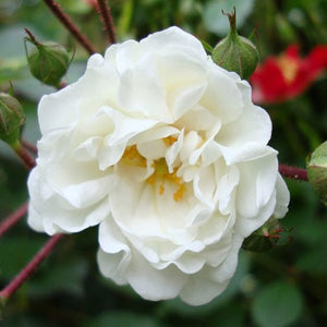 "Rosa ""White Knock Out"""