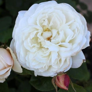 "Rosa ""William and Catherine"""
