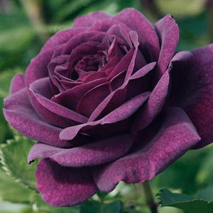 "Rosa ""Purple Eden"""