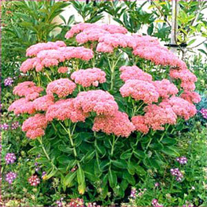 "Sedum Spectabile ""Autumn Joy"""
