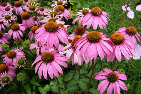 Echinacea purpurea, Purple Coneflower, Common Seeds