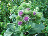 Arcticum lappa, Great burdock