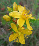 Hypericum perforatum, St. Johnswort Seeds