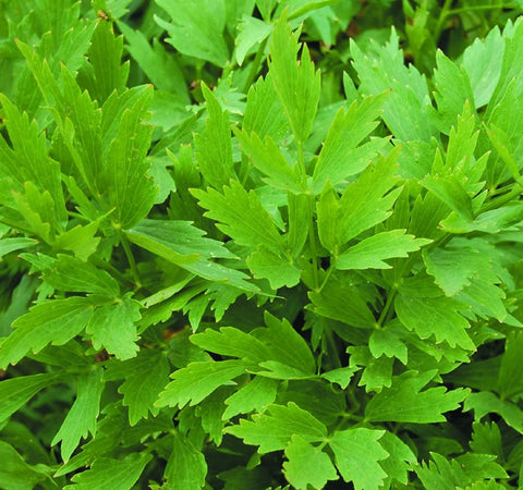 Levisticum officinale, Lovage Seeds
