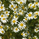 Matricaria recutita, Chamomile, German Seeds