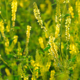 Melilotus officinalis, Sweet clover Seeds