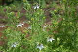 Nigella sativa, Black Caraway Seeds
