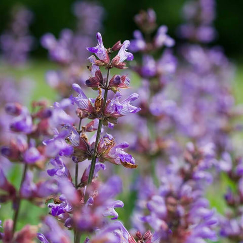 Salvia officinalis, Sage, Extrakta Seeds
