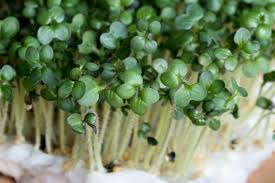 Black Mustard Microgreen Seeds