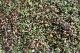 Mix Broccoli Alfalfa Clover Daikon Microgreen Seeds