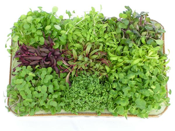 Mix Broccoli, Alfalfa, Clover & Rocket Microgreen Seeds