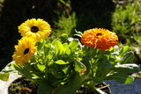 Edible Flowers Pot Marigold Seeds