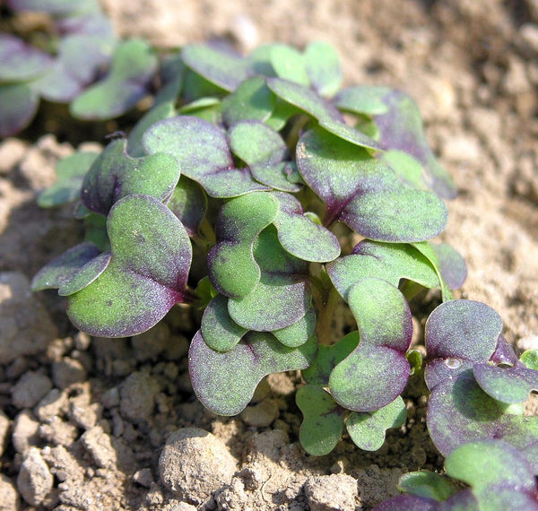 Red Mustard (Brassica juncea) Microgreen Seeds