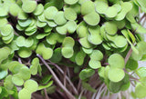 Red Russian Kale Microgreen Seeds