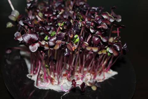 Radish Sango Red Microgreen Seeds