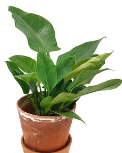 PHILODENDRON IMPERIAL GREEN - hamburgplanten
