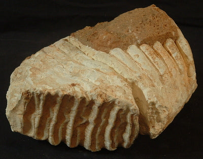 Mammuthus Columbi tooth - Somervell Co, TX (FO-1469f)