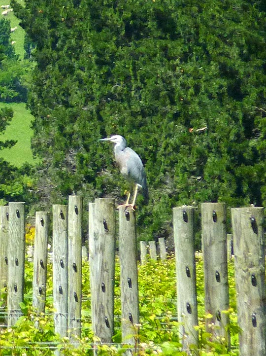 A white faced heron in the Pegasus Bay vineyard