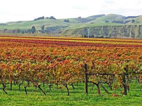 The Pegasus Bay Vineyard River Block in late autumn; the coloured stripes clearly showing the difference between red and white grape vines.