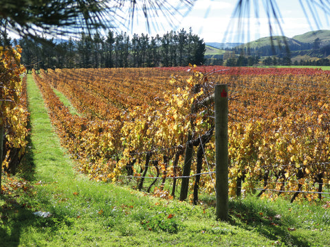Autumn colours in Pegasus Bay vineyard