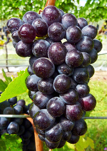 A grappe with its pinot noir grapes