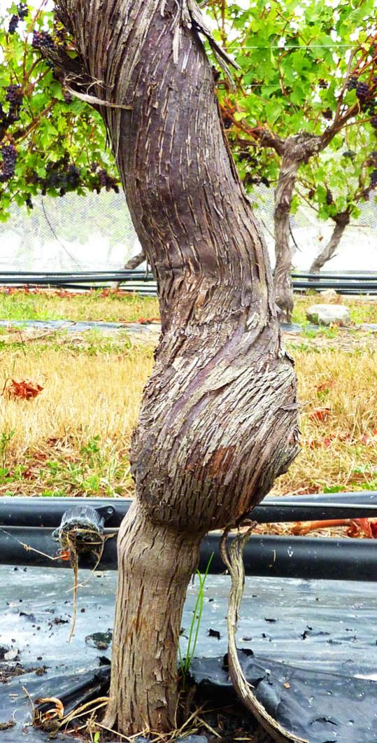 Compared with the bloated trunk of a grafted pinot noir