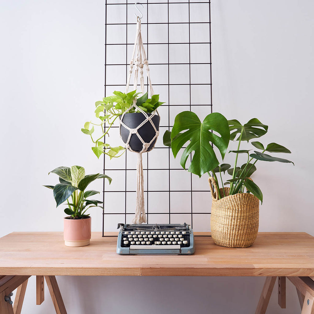 Philodendron birkin, golden pothos, monstera deliciosa