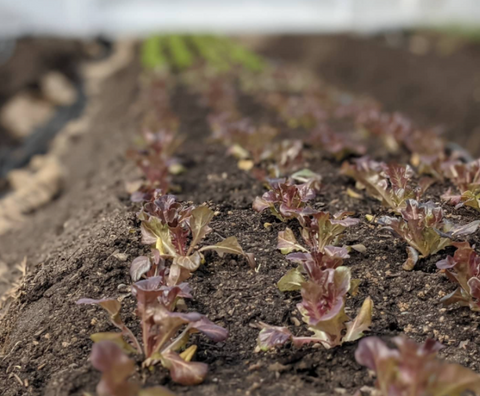 close up of rows of red lettuce sprouts in soil