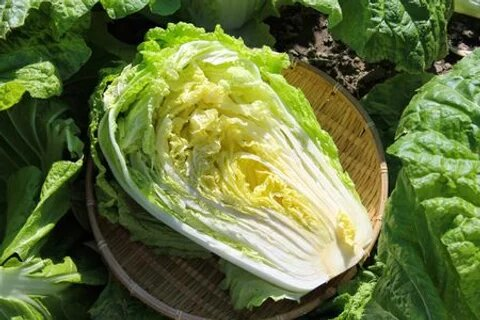 Napa Michihili Heading Cabbage