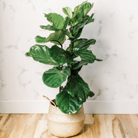 Fiddle Leaf Fig - Bush