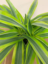 Load image into Gallery viewer, Dracaena (Lemon Lime)