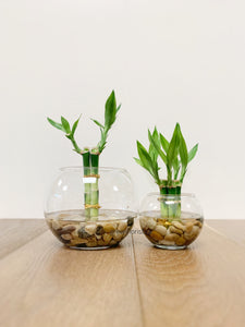 Lucky Bamboo fish bowl arrangement - Single