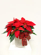 "Load image into Gallery viewer, 6"" Poinsettia in Decorative Planter"