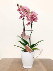 Orchid Plant - Availabile April 30th