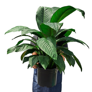 "Spathiphyllum Peace Lily Plant - in 10"" Pot"