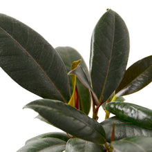 Load image into Gallery viewer, Ficus Elastica 'Burgundy'