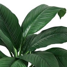"Load image into Gallery viewer, Spathiphyllum Peace Lily Plant - in 10"" Pot"