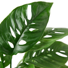 Load image into Gallery viewer, Monstera Adansonii 'Swiss Cheese'